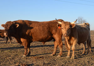"Dexter Cattle are around 40"" tall and weigh 700-900 pounds. Photo Source - The Livestock Conservancy"