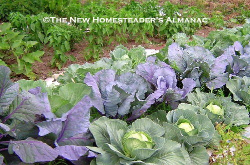 Grow More Food with Cool Season Crops - The New Homesteader's Almanac