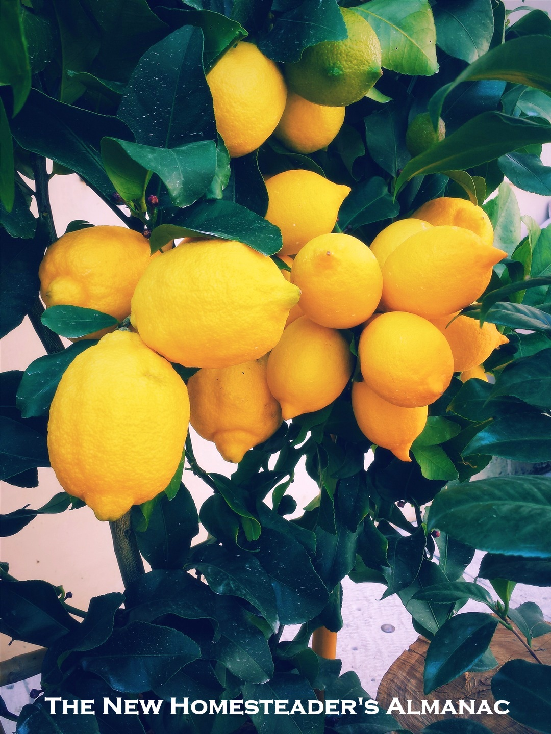 Lemons - The New Homesteader's Almanac