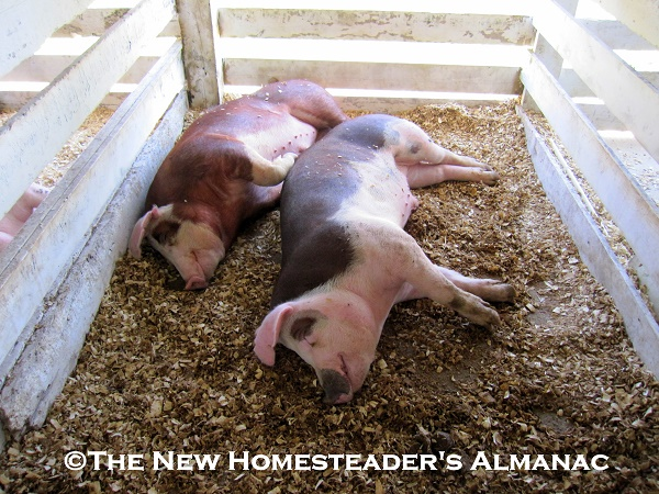 Small Livestock with Big Benefits - The New Homesteader's Almanac