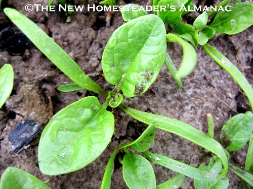 March Homesteading Chores - The New Homesteader's Almanac