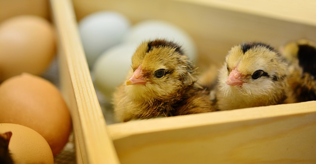 Hatching Chicks - The New Homesteader's Almanac