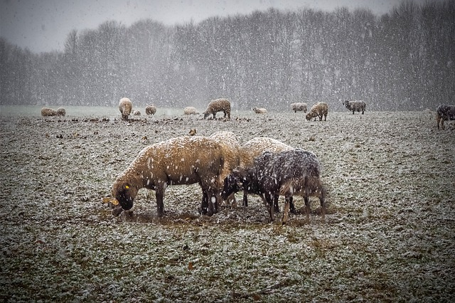 Sheep in Snow - The New Homesteader's Almanac