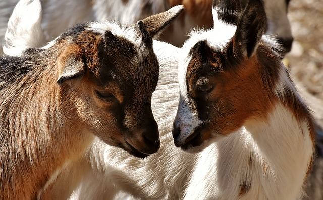 goats are small livestock that produce milk