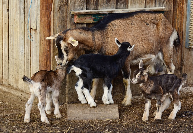small livestock - goats