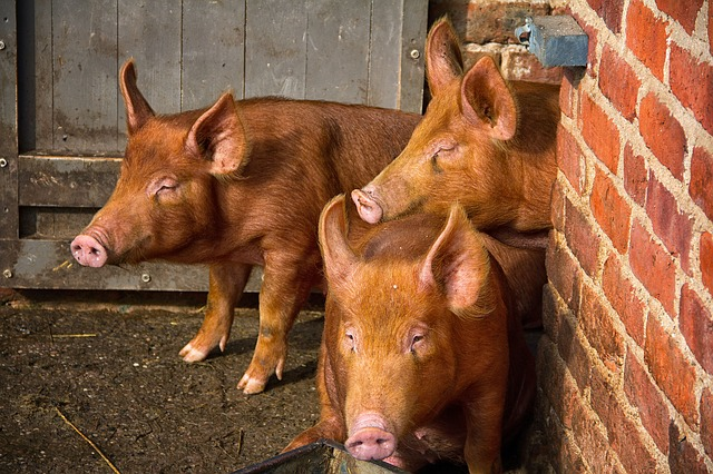 small livestock like heritage pigs are better for small homesteads