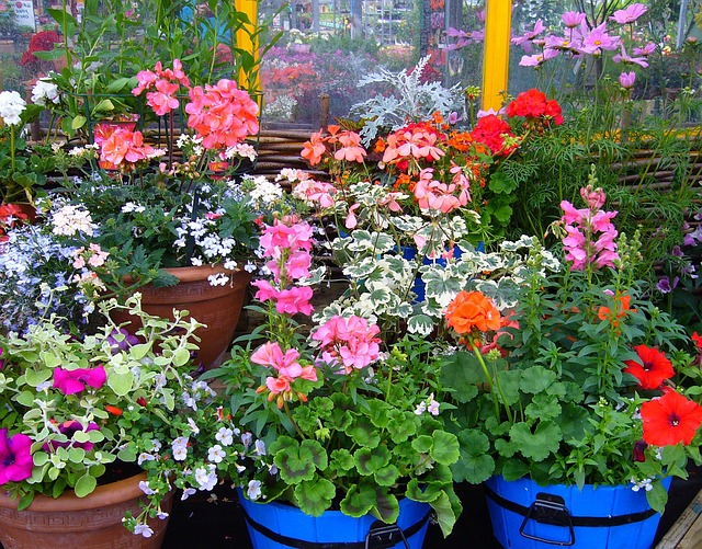 potted geraniums help save money on your garden