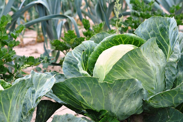 leeks, parsley and cabbage make good companions in the garden