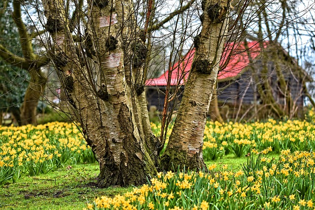 Daffodils spread and naturalize.