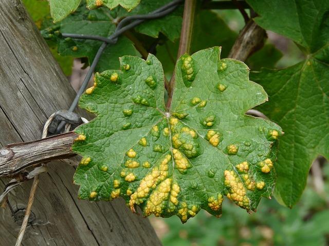 leaf with disease