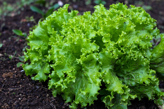 Leaf lettuce is a good plant for saving money in your garden.