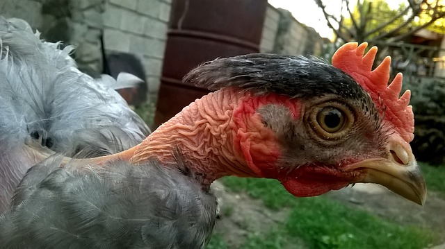 Turkens are a cold hardy chicken breed that can also handle heat