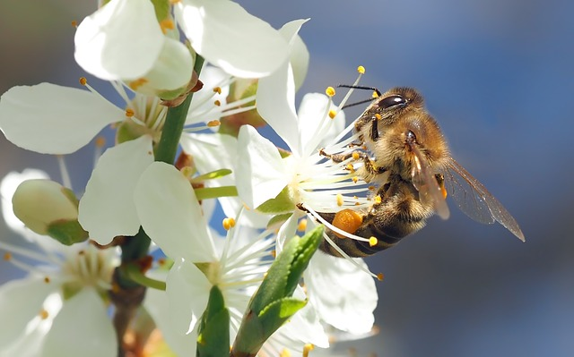 Bee pollinating cherry blossom...plants that attract pollinators