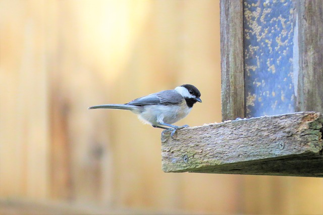 Black Capped Chickadee at the birdfeeder