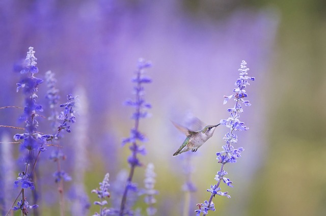 plants that attract pollinators include lavender, as evidenced by this hummingbird