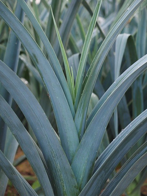Leeks without companion plants.