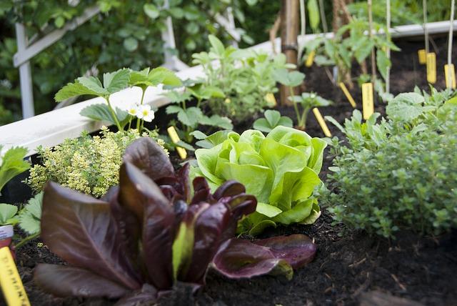 lettuce in a community garden