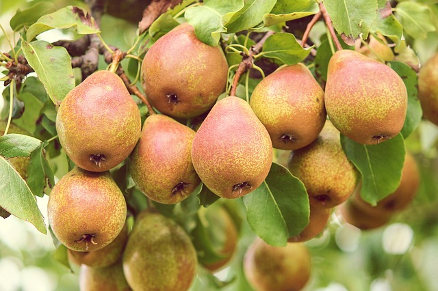 pear tree - choose the best fruits for your homestead