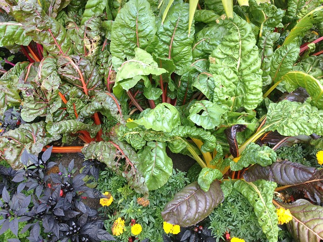 Swiss chard interplanted with basil and marigolds.