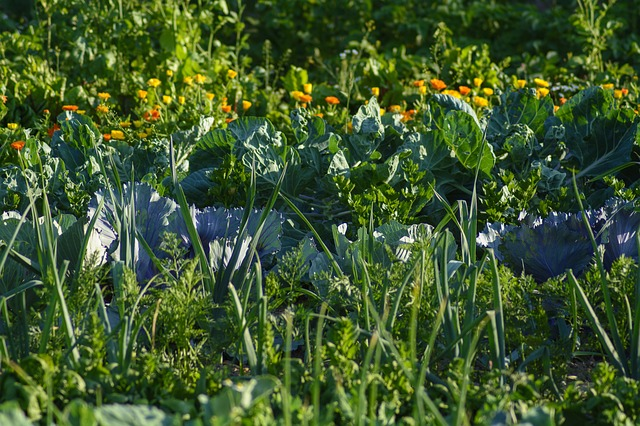 Companion planting of vegetables and flowers