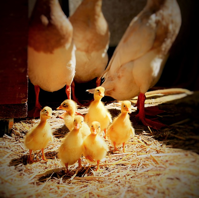 Pasture-raised Ducks for Eggs and Meat...runner ducks with ducklings