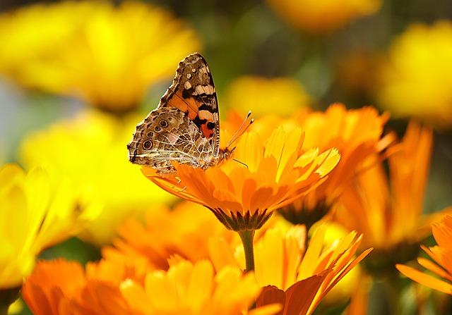 calendula attracts pollinators