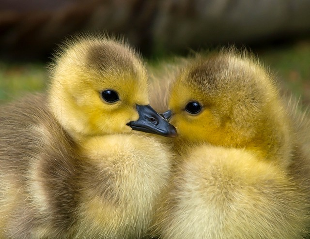 Pasture-raised Ducks for Eggs and Meat...ducklings